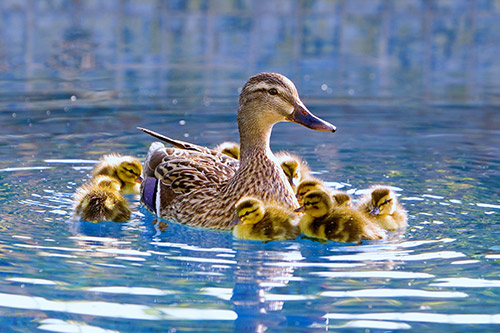 mother and baby ducks on pond