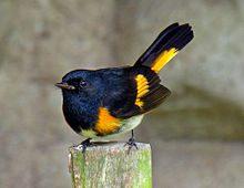 photo of the bird, american redstart