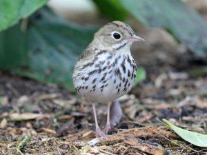 photo of the bird Ovenbird