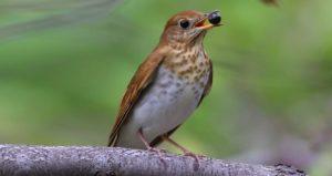 photo of the veery bird