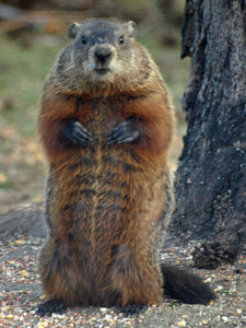 brown woodchuck