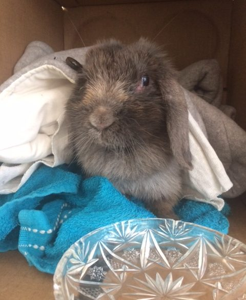 grey bunny in blankets and box