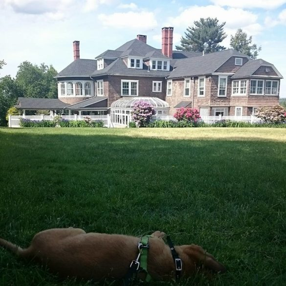 dog laying down on the lawn with the mansion in the back ground