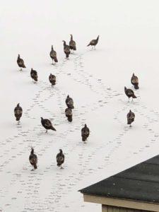 seventeen-turkeys-skating-on-tarrywile-lake