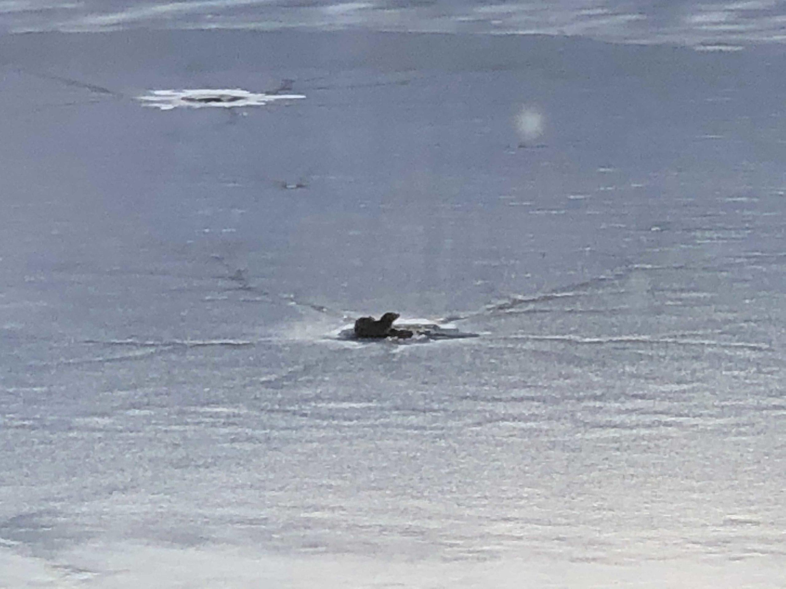 river-otter-peeking-through-the-ice-on-tarrywile-lake