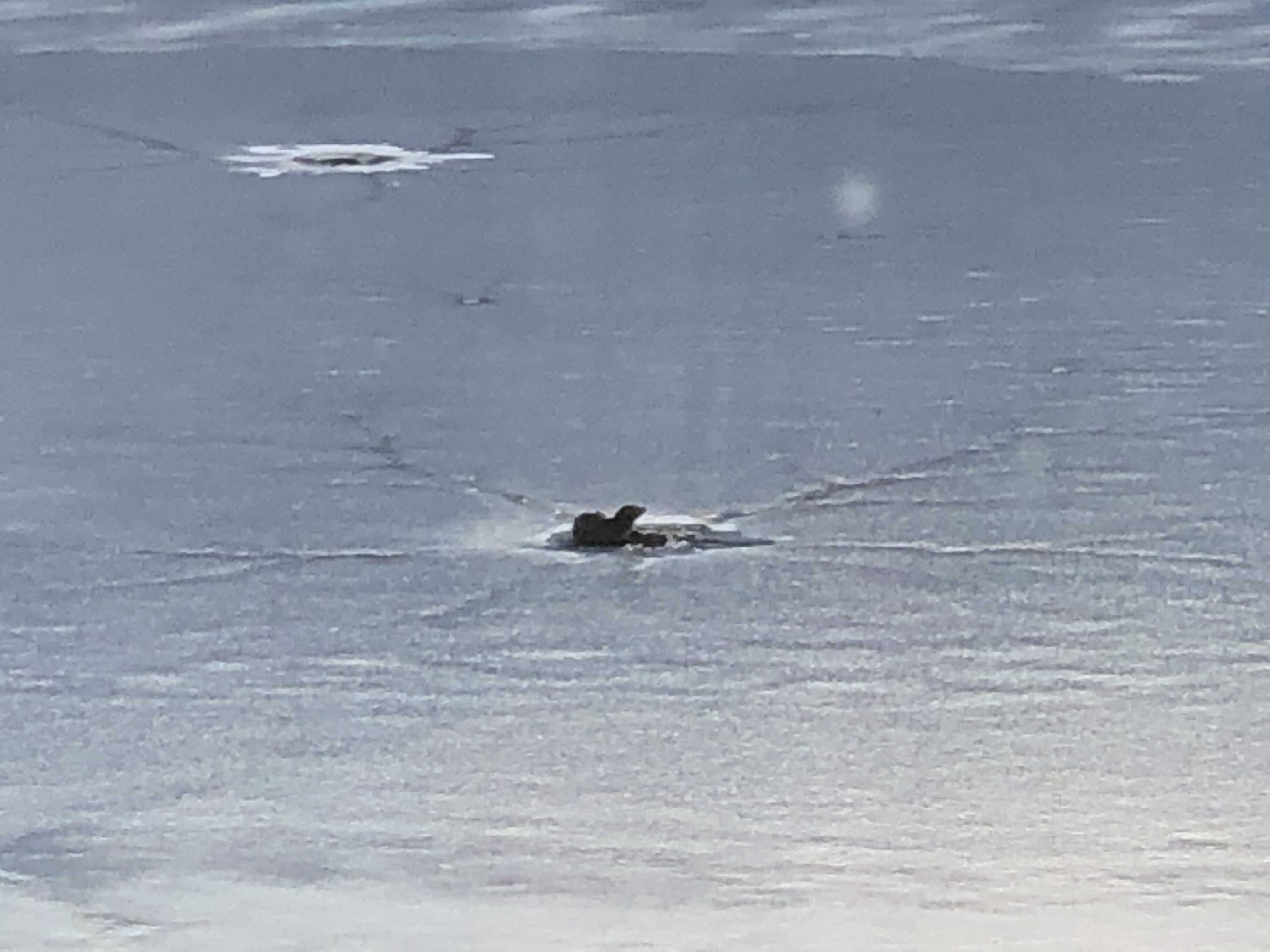 river-otter-peeking-through-the-ice-on-tarrywile-lake
