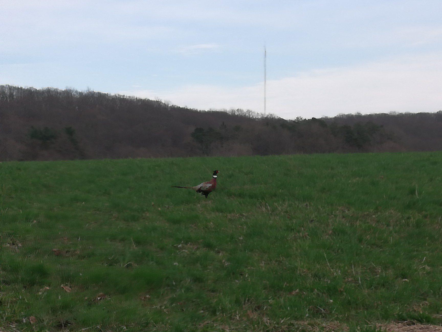 wildlife-sightings-ringneck-pheasant