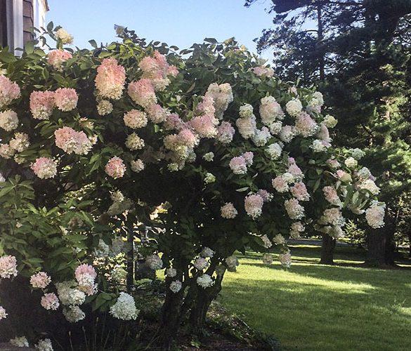 summer-hydrangea-bush-at-tarrywile