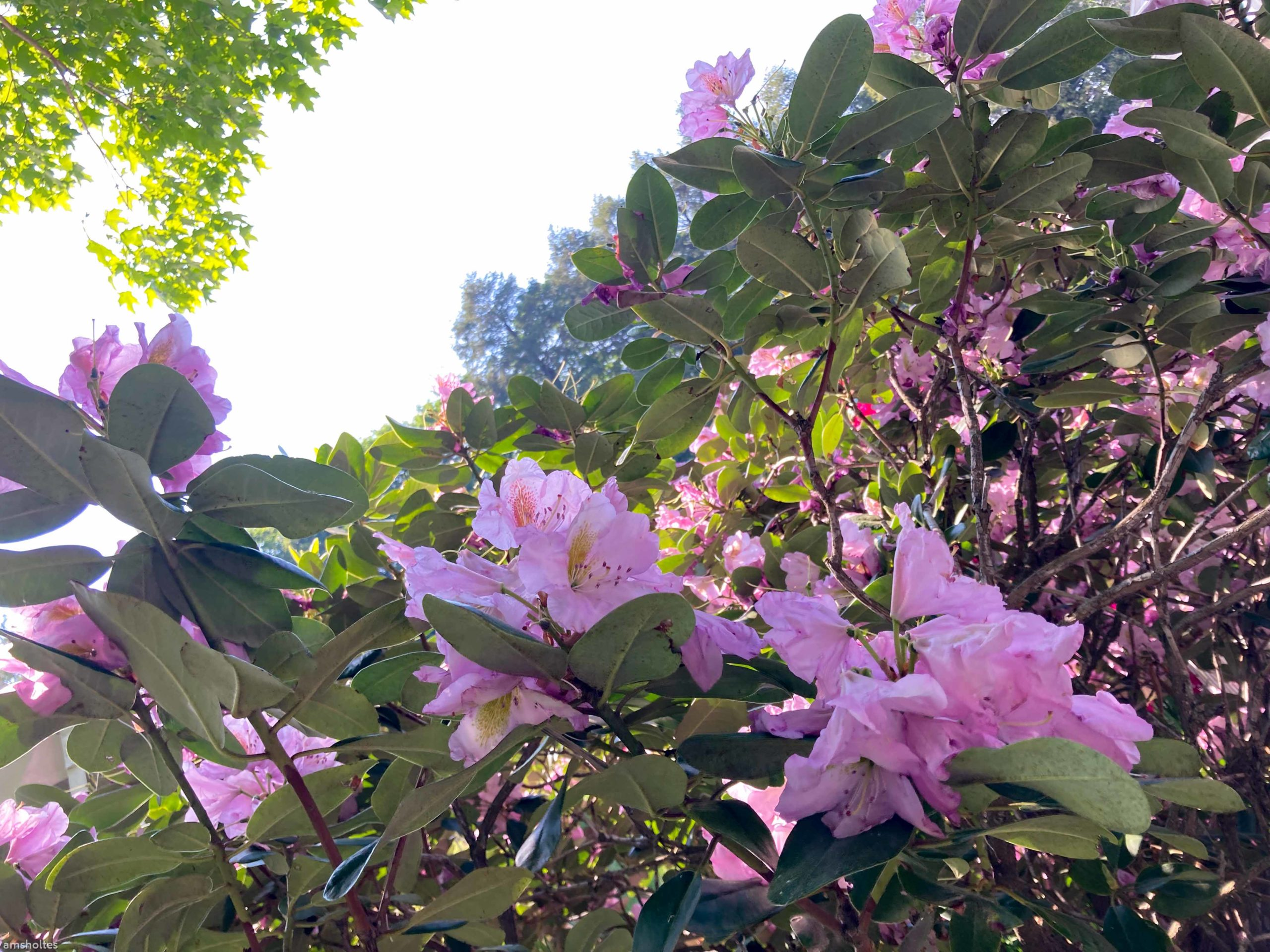 Rhododendrons in the sun